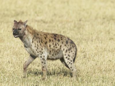 Spotted Hyena (Crocuta Crocuta) Masai Mara Game Reserve