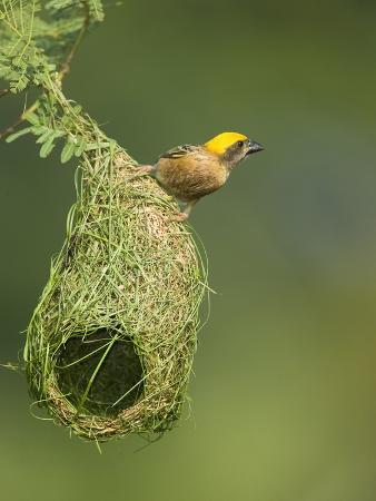 Baya Weaver (Ploceus Philippinus) on its Nest, Masai Mara, Kenya