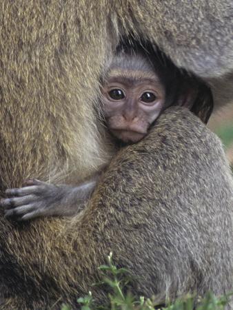 Vervet Monkeys, Cercopithecus Aethiops, Uganda