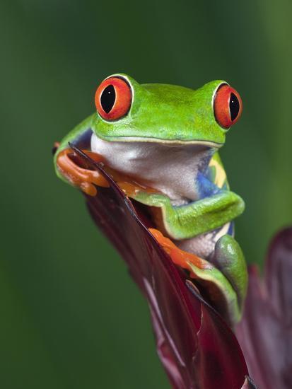 Red Eyed Tree Frog Agalychnis Callidryas Photographic