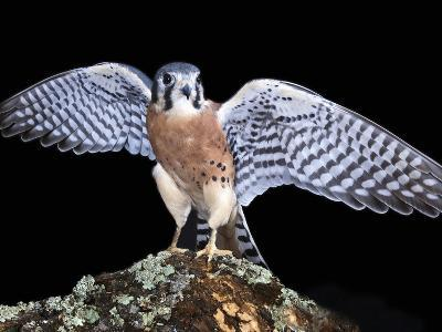 American Kestrels (Falco Sparverius) are Native to North and South America, Captive