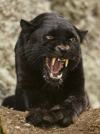 Black Panther (Panthera Onca), Melanistic Morph, Growling and Snarling, Captivity