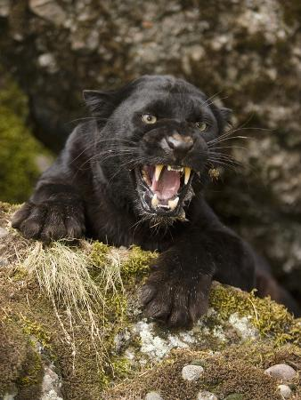Leopard or Black Panther Snarling (Panthera Pardus)