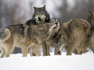 Gray Wolf Group (Canis Lupus), Montana, USA, Controlled Situation