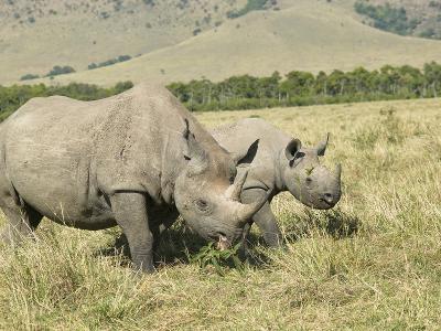 Black Rhinocerous (Diceros Bicornis) Adult and Baby Grazing on the Savanna