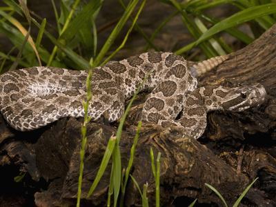 Massasauga Rattlesnake (Sistrurus Catenatus) Laying on a Tree in Low Grass, USA