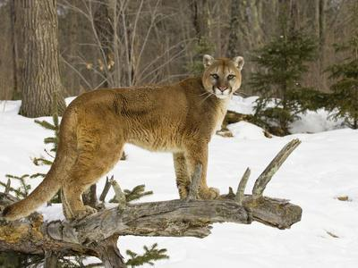 Mountain Lion (Felis Concolor) Standing on a Log