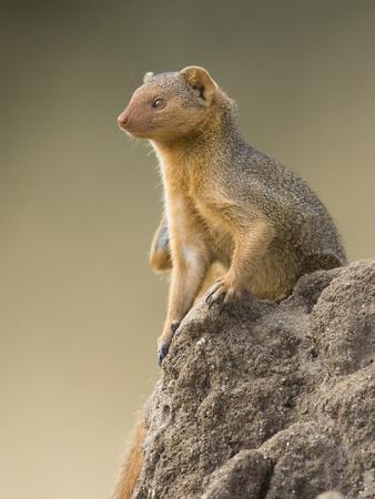 Dwarf Mongoose (Helogale Parvula) Sitting Near Colony Nesting Site, Masai Mara, Kenya