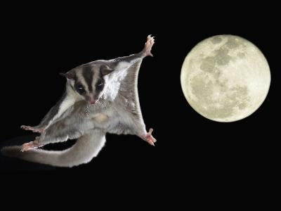 Sugar Glider, Petaurus Breviceps, Marsupial Mammal Gliding Through the Night Sky, Australia