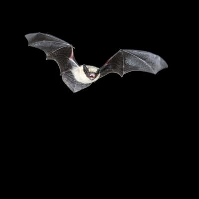 California Myotis Bat (Myotis Californicus) Flying at Night, Southwestern USA