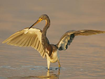 Tricolored Heron in Winter Plumage with its Wings Lifted While Fishing, Egretta Tricolor, Florida