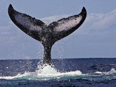 The Tail of Humpback Whale (Megaptera Novaeangliae) That Is Displaying, or Tail Lobbing