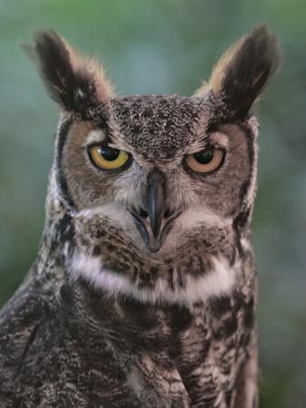 Great Horned Owl, Bubo Virginianus, North America