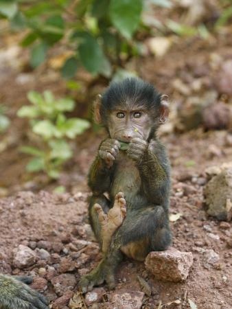 Olive Baboon Baby Eating, Papio Anubis, Tanzania, Africa