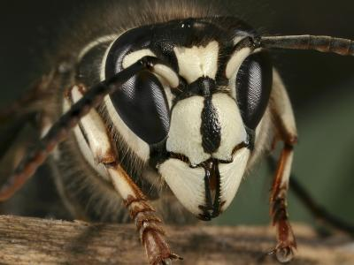 Face of a Bald-Faced Hornet Perched on a Twig