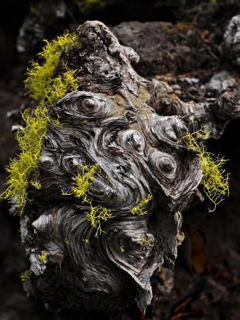 Wolf Lichen (Letharia Vulpina) Growing on a Dead Conifer, Camp Sherman, Oregon, USA