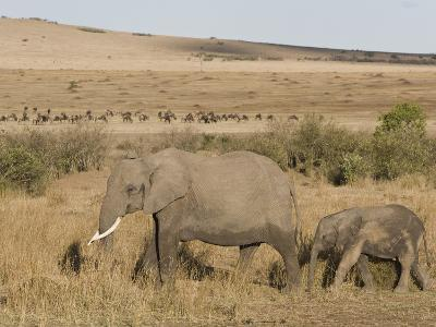 African Elephant Adult and its Young Walking across the Savanna, Loxodonta Africana