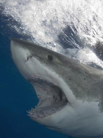 Great White Shark Head (Carcharodon Carcharias), Guadalupe Island, Mexico, Eastern Pacific Ocean