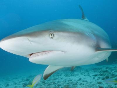 Caribbean Reef Shark (Carcharhinus Perezi), St. Maarten, Caribbean Sea