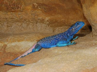 Anderson's Rock Agama Male (Acanthocercus Adramitanus), a Common Lizard in the Mountains of Yemen