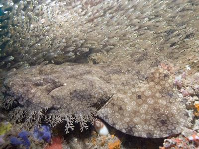 Tasseled Wobbegong (Eucrossorhinus Dasypogon) in a School of Baitfish, Exmouth
