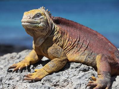 Galapagos Land Iguana (Conolophus Subcristatus), South Plaza Island, Galapagos