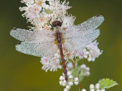 Cherry-Faced Meadowhawk Dragonfly (Sympetrum Internum) on a Meadowsweet Flower (Spiraea Alba)