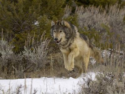 Gray Wolf (Canis Lupus) Running in Snow