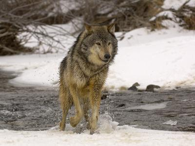 Gray Wolf (Canis Lupus) Running in Snow and Through a Winter Stream