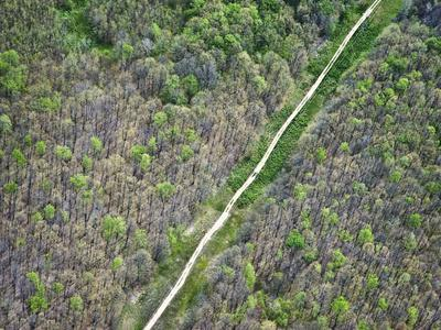 Trees Defoliated by Tent Catapillar, Huron-Manistee National Forest, Michigan, USA