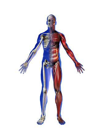 Human Male Figure Showing Skeletal and Musculature