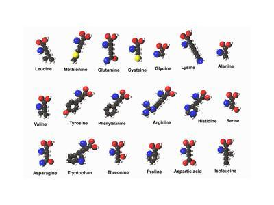 Molecular Models of Amino Acids Amino Acids are Critical to Life and Have Many Functions