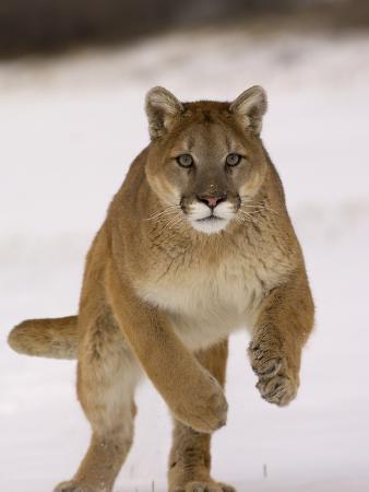 Cougar (Felis Concolor) Running in Snow, USA