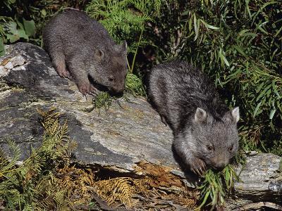 Common Wombat (Vombatus Ursinus) Young Playing, Tasmania, Australia