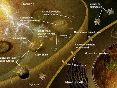 Illustration of the Effect of Botulism on the Nervous System the Primary Role of Snare