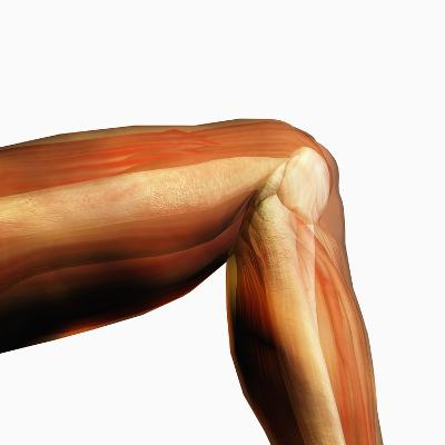 Human Knee Hinge Joint Showing Bones and Muscles