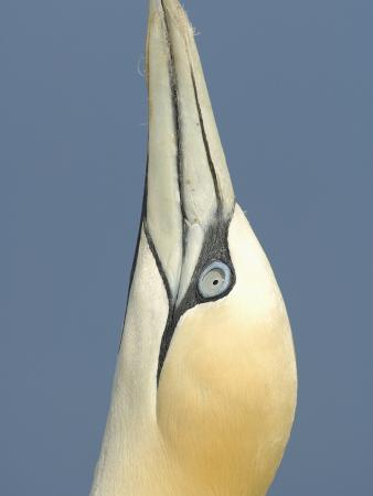 Close Up of the Head of a Northern Gannet During Sky Pointing Courtship Behavior, Scotland, UK