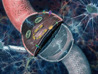 Concept of Electrical and Chemical Activity in Neurons Electrical Impulses