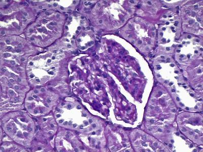 Kidney Outer Medulla Transverse Section, H&E Stain, LM X320