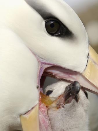 Black-Browed Albatross Feeding its Chick in the Nest (Diomedea Melanophris), Falkland Islands