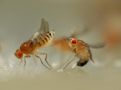 Mating Behavior of Fruit Flies (Drosophila Melanogaster) Showing Female Rejecting a Male
