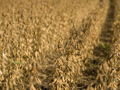 Soybeans, Iowa