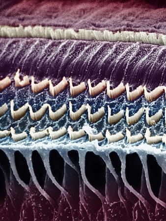 Hair Cells in a Mammal Cochlea, the Portion of the Inner Ear That Is Responsible for Hearing
