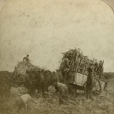 Loading Cane, Sugar Plantation, Louisiana, Usa