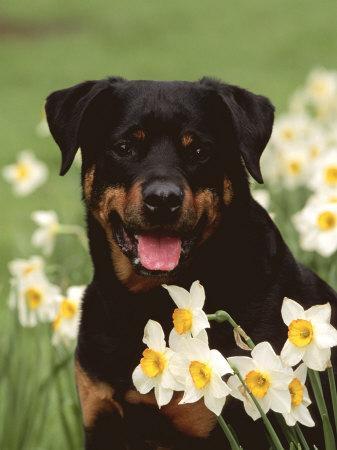 Rottweiler Dog Amongst Daffodils, USA