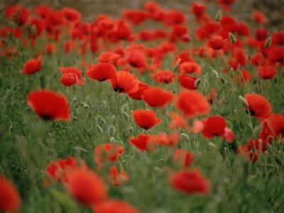 Poppy Field (Papaver Rhoeas), Germany, Europe