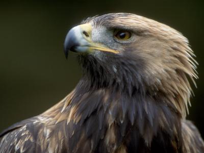 Golden Eagle, 4th Year Male, Scotland, UK