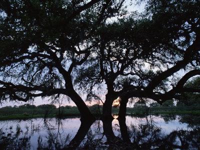 Oak Tree Silhouette at Sunset, Texas, USA
