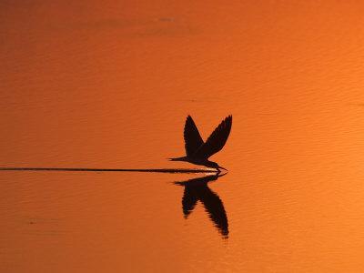 African Skimmer Skimming at Sunset, Chobe National Park, Botswana