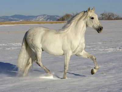 Grey Andalusian Stallion Trotting Through Snow, Colorado, USA